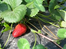 Strawberry Plant. Strawberries growing in a field with black plastic weed barrier beneath stock images
