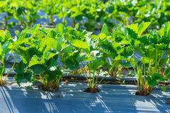 Strawberry plant agriculture industry. Strawberry plant agriculture industry in Asia north of Thailand royalty free stock photography