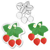 Strawberry plant and berries set. Collection of strawberries. Strawberry plant and berries set. Collection of color, contour and sticker strawberries. Vector Stock Photo