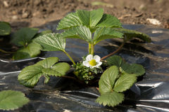 Strawberry plant in bloom Royalty Free Stock Photos