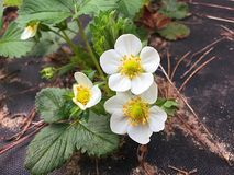 Strawberry Plant. In bloom , flowering stock image