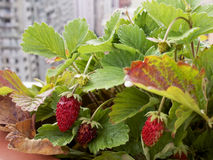 Strawberry plant with city background Royalty Free Stock Photos