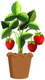 Strawberry plant in clay pot. Illustration Royalty Free Stock Photos