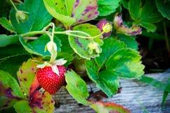 Strawberry plant Stock Photos