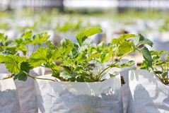 Strawberry Plant. Stock Images