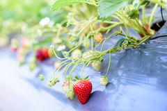 Strawberry plant fields. Chiang mai , Thailand royalty free stock photography
