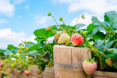 Strawberry plant fields. In summer sky stock photo
