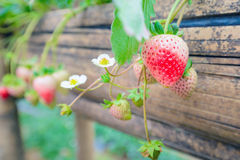 Strawberry plant fields. In summer sky stock images
