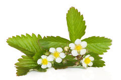 Strawberry Plant in Flower. Isolated over white background royalty free stock photography