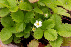 Strawberry plant flower and foliage Royalty Free Stock Photos