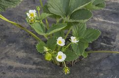 Strawberry plant flower Stock Images