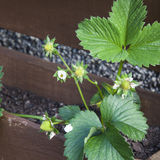 Strawberry plant flowers losing petals, ready to frui Royalty Free Stock Images