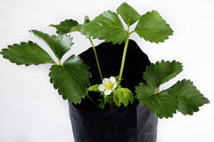 Strawberry plant with flowers on white Royalty Free Stock Photos