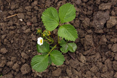 Strawberry plant. (Fragaria viridis) on the garden bed in flowering time stock image