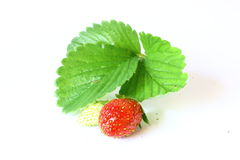 Strawberry Plant with Fruit Royalty Free Stock Images