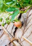 Strawberry plant fruit Stock Photo