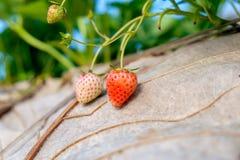 Strawberry plant fruit Royalty Free Stock Image