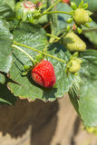Strawberry plant with fruit Stock Photography