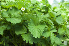 Strawberry plant. A strawberry plant, in the garden Royalty Free Stock Photography
