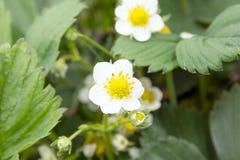 Strawberry plant Royalty Free Stock Image