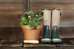Strawberry Plant and Garden Boots Stock Photography