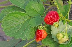 Strawberry plant. With green and red fruits stock photo