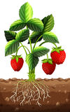 Strawberry plant in the ground Stock Photos
