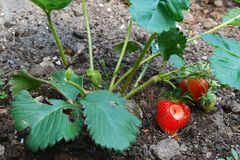 Strawberry plant growing in garden soil with holes Stock Photography