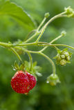 Strawberry plant. Royalty Free Stock Images