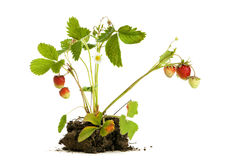 Strawberry plant isolated. Strawberry plant with roots and soil isolated on white background stock photo