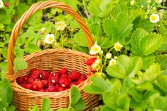 Strawberry plant. Juicy red ripe delicious berries of wild straw Stock Photography