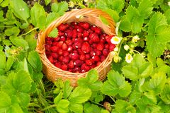 Strawberry plant. Juicy red ripe delicious berries of wild straw Royalty Free Stock Image