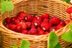 Strawberry plant. Juicy red ripe delicious berries of wild straw Royalty Free Stock Photos