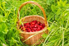 Strawberry plant. Juicy red ripe delicious berries of wild straw Stock Images