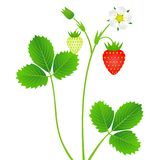 Strawberry plant with leaves, berries and flower, isolated on white background. vector illustration