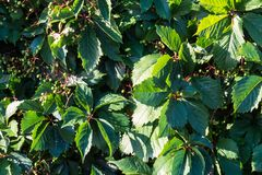 Strawberry plant leaves in the bright sunlight. Of the Province of Quebec, Canada stock photography