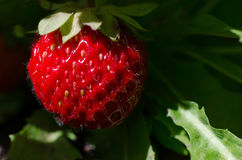 Strawberry plant. One strawberry, outdoor shot lit by sunlight royalty free stock image