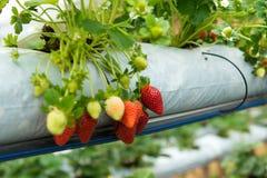 Strawberry plant Royalty Free Stock Photos
