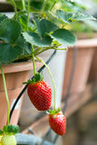 Strawberry plant Royalty Free Stock Images
