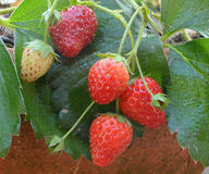 Strawberry plant, outdoor shot Stock Photos
