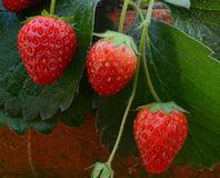 Strawberry plant, outdoor shot Royalty Free Stock Image