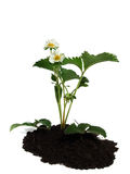 Strawberry plant over white Stock Photography