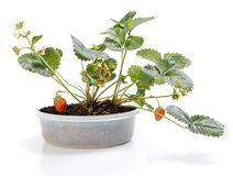 Strawberry plant in pot. Strawberry plant with fruit in pot on white background stock photography