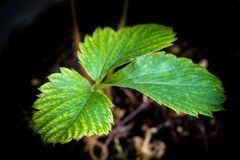 Strawberry plant in pot royalty free stock photos