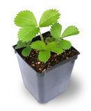 Strawberry Plant in pot Royalty Free Stock Images