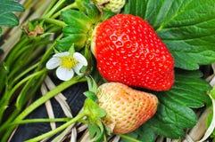 Strawberry on Plant. Royalty Free Stock Photo