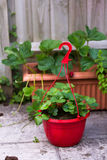 A strawberry plant in a red pot Royalty Free Stock Photo