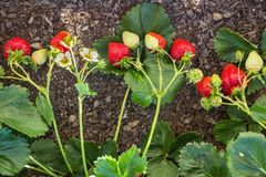 Strawberry plant with ripe and unripe strawberries growing in organic garden stock photography