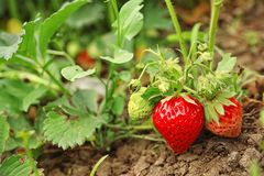 Strawberry plant with ripening berries in field. Strawberry plant with ripening berries growing in field royalty free stock image