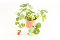 Strawberry plant with roots and soil Royalty Free Stock Photography